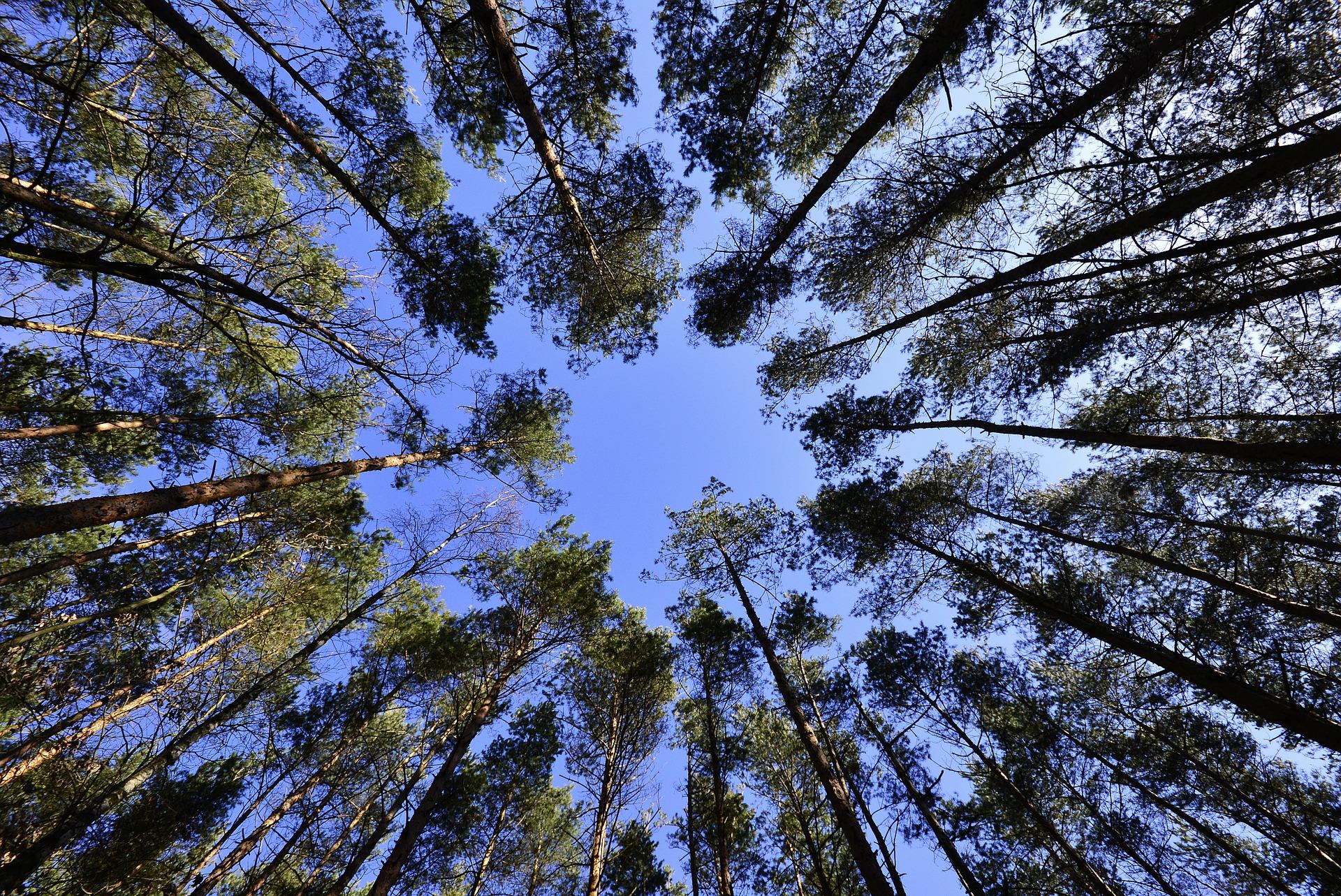 image de forêt cimes en bouquet orientées vers le ciel